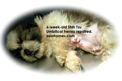 asingapore veterinary dog shih tzu umbilical hernias