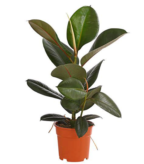 gummibaum im freien gummibaum mix dehner