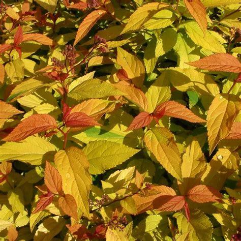 Spiraea japonica 'Goldflame' Japānas spireja - Spirejas ...