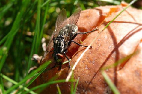 wie lange lebt eine mücke wie lange lebt eine fliege wissenswertes zum insekt