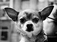 Black and White Chihuahua Dogs