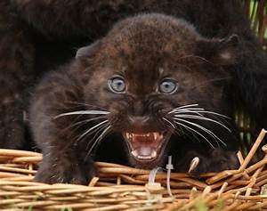 Baby panther cub Photos Most delightful baby animals NY Daily News