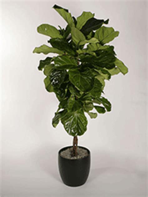 Ficus Trees Plantopia Interior Plant Service