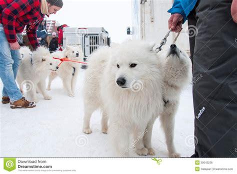 Samoyed Dogsled Race Editorial Photo Image 50043236