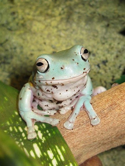 frog names whites tree frog tree frogs frogs and amphibians