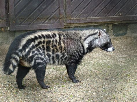 african civet google search  bovids rare animals