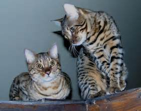 bengal cats for cat tips the bengal cat personality
