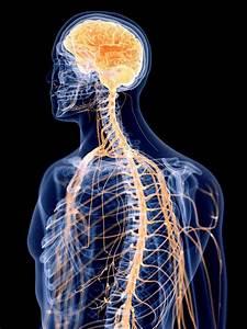 Nervous System Stock Illustrations  U2013 15 544 Nervous System