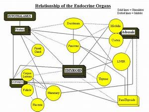 12 Best Images About Endocrine System On Pinterest