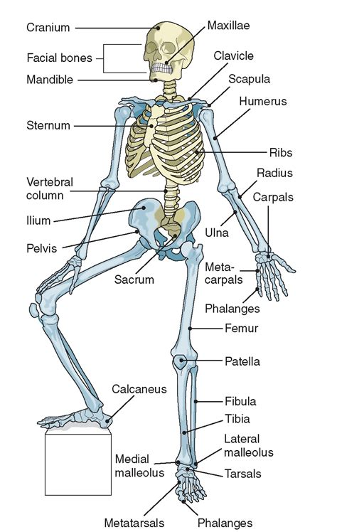 Some examples can include facilitating movement, moving food through your digestive are you interested in learning additional facts about your dynamic muscular system? Human Anatomy Body - Page 2 of 160 - Human Anatomy for ...