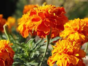 do marigolds keep bugs away top 28 do marigolds keep bugs away plants to keep bugs away marigolds are one of the most