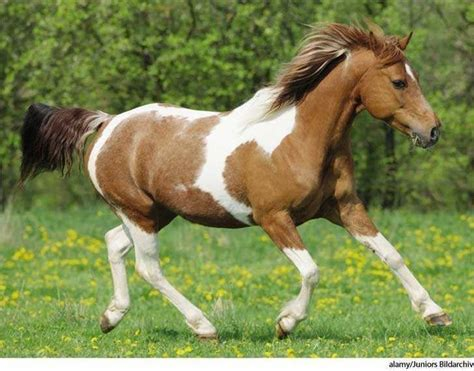 horse paint american facts general lifespan lover important most appearance