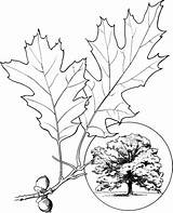 Oak Tree Coloring Pages Leaves Northern Drawing Leaf Champion Printable Elm Trees Template Oaks Supercoloring Clipart Sketch Getdrawings sketch template
