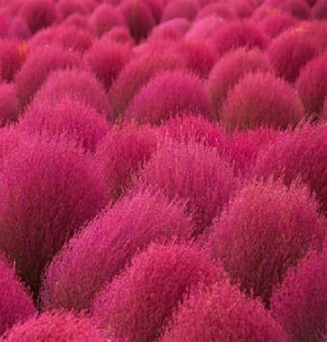 buy kochia scoparia grass heirloom non gmo kochia scoparia grass 100 seeds buy online in uae products in the uae