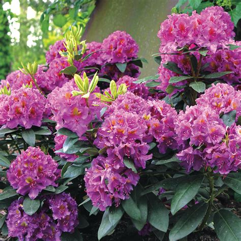 how fast do azaleas grow rhododendron dandy man purple at wayside gardens