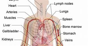 The Heart  Lungs  And Major Arteries Are Generally In