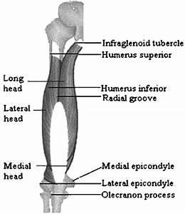 Anatomical Locations Of The Triceps Brachii Muscle  Left
