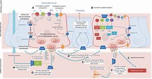 Sensing By The Enteroendocrine System  Digestion Products Enter The