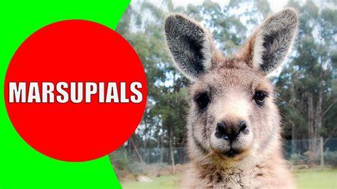 mammals marsupial marsupials animals australia americas tasmania