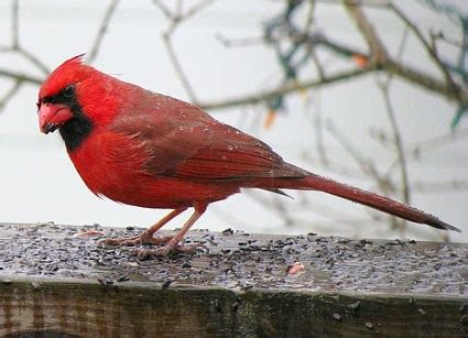 northern cardinal identification all about birds cornell lab of ornithology