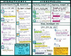 Amino Acids Study Guide