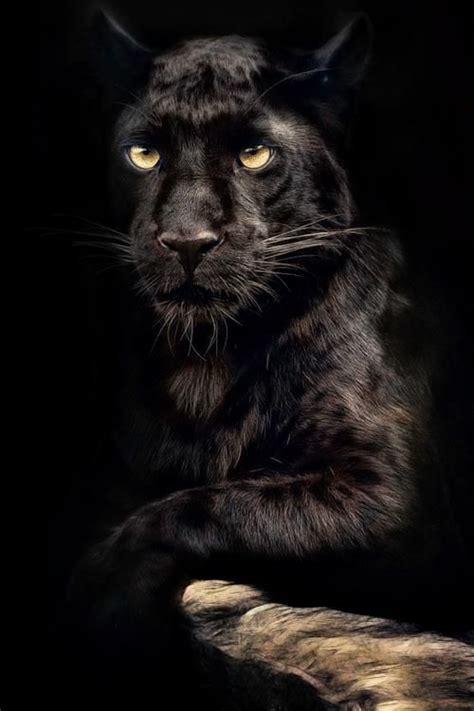 black panther cat big cat black panther pantera