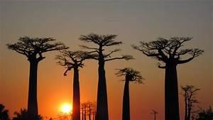 Arbol Africano Sagrado El Baobab