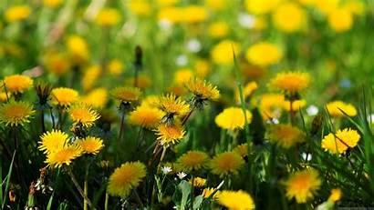 Widescreen Desktop Wallpapers Backgrounds Nature Dandelion Background