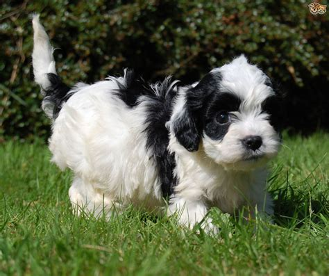 bred si鑒e social white cavapoo puppies pixshark com images galleries with a bite
