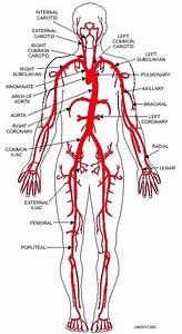 How Many Arteries Are Present In A Human Body