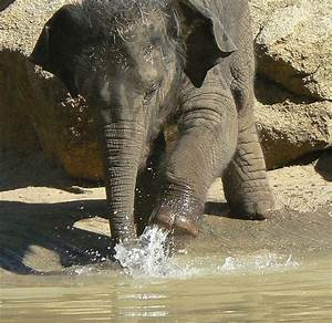 The Baby Indian Elephant | Free National Geographic Pix
