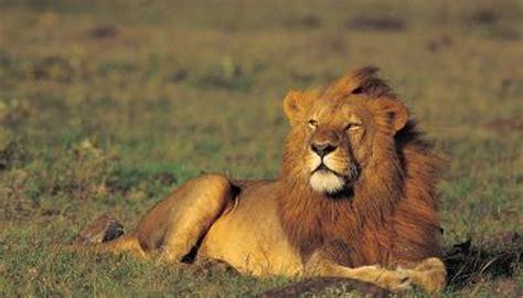 lions  good senses animals momme