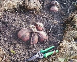 Culture De La Patate Douce : la culture des patates douces par le bio popo les ~ Carolinahurricanesstore.com Idées de Décoration