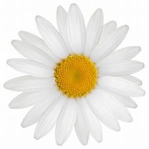 Daisy PNG Clipart Image | flowers | Pinterest | Clipart ...