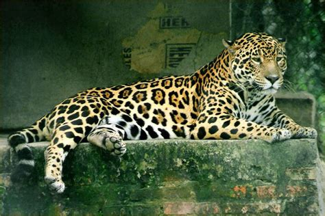 Jaguar Picture by 72 Beautiful Jaguar Pictures Beautiful Jaguar Pictures P5