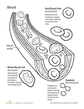 basic human anatomy blood human anatomy worksheets and