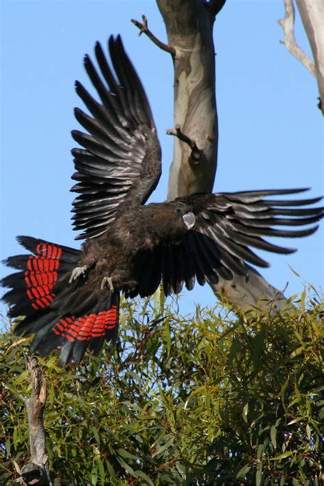 Learn about SA's glossy black-cockatoo - Good Living