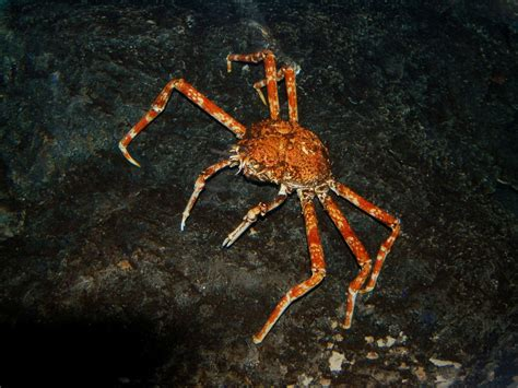 The Online Zoo - Giant Spider Crab