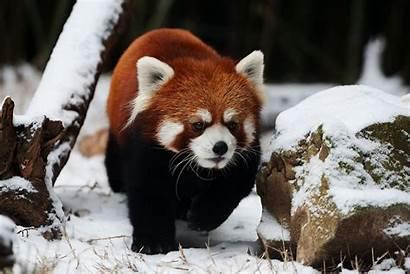 Panda Snow Pandas Bear Wallpapers Backgrounds Wallpaperaccess