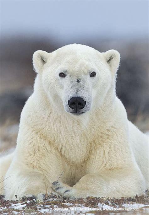 polar bear    camera  ground level
