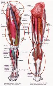 Hamstring Muscle Group   Quads Muscle Group