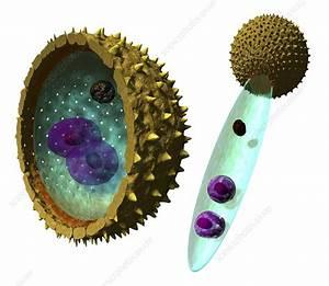 Pollen Cell Structures  Artwork  7178