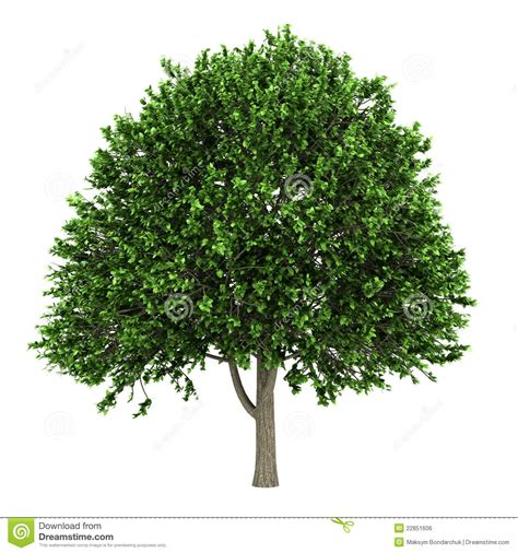 american elm tree isolated on white royalty free stock image image 22851606