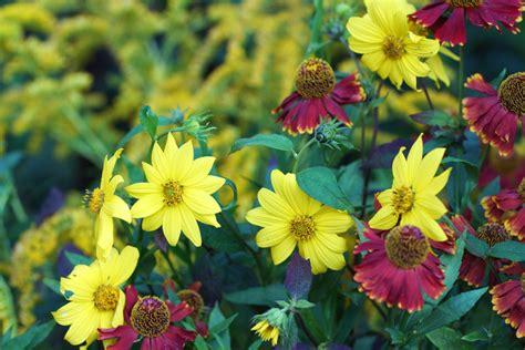 Stauden Die Lange Blühen by Stauden Sonnenblume Pflegen 187 Diese Pflegeprogramm Steht An