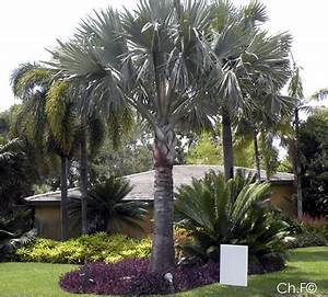 Palmier De Jardin : palmiers et cycas jardin l 39 encyclop die ~ Nature-et-papiers.com Idées de Décoration