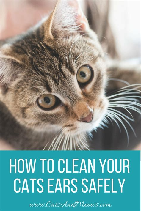 ears clean cats safely cat should often health