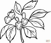 last bing queries pictures for strawberry plant coloring page