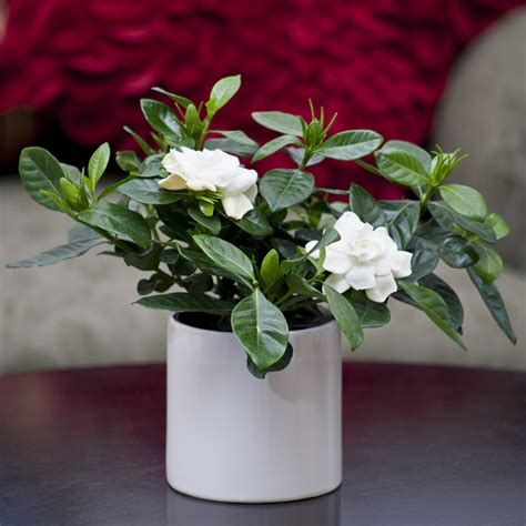 gardenia in gloss white container flowering plants