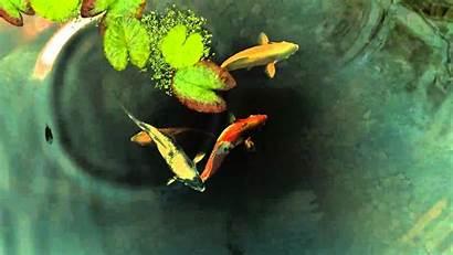 Koi Fish Pond Desktop Wallpapers Animated Backgrounds