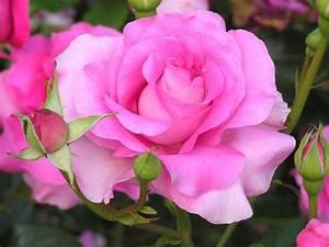 All Free Flower Wallpapers | Hybrid Tea Rose Flower Free ...